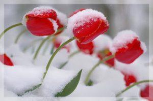 Tulipanes rojos con nieve. Tulipanes rojos en invierno